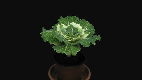 Time-lapse of opening 'Coral prince' decorative cabbage with ALPHA channel Footage