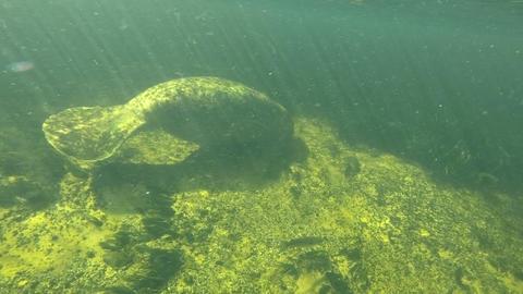 Manatee Swimming In River Water At Wakulla Springs Florida USA Footage