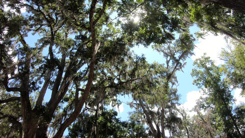 Moss On Tree Branches At Wakulla Springs State Park Florida Footage