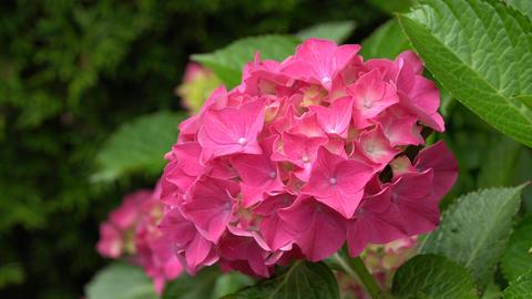 Flora - Hydrangea Macrophylla