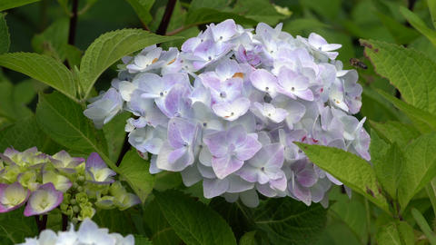 Flora - Hydrangea Macrophylla 0