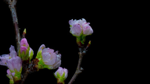 Flowering of a beautiful cherry tree Footage