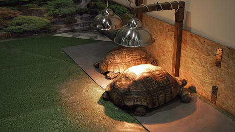 Medium shot of a two african spurred tortoise under the heating lamps Live Action