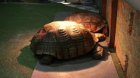 Two african spurred tortoise Centrochelys sulcata under the heating lamps Live Action