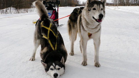 Two husky dogs in harness after race Footage