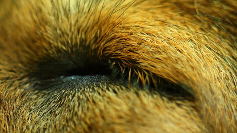 Dogs Eye Closed Then Opening Macro Closeup Footage