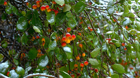 wind shakes paradise apples green leaves covered with snow Footage
