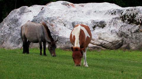 Two miniature ponies eating grass Footage