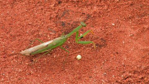 Praying Mantis standing in red sand Footage