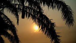 Sunset view through coconut palm tree leaf on tropical sea. Travel destination Footage