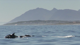 Bottle-nose Dolphins Breaching with Mountains in Background Footage