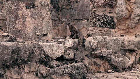 Static shot of an iguana on ancient stone Footage