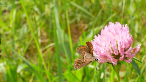 Brown butterfly with orange wings sits on clover flower Archivo