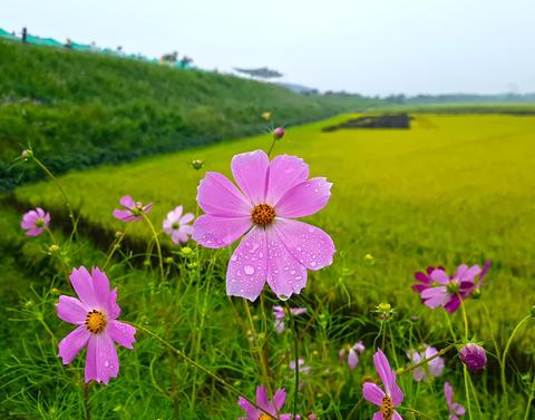 Pink Cosmos and Rice Paddy in Mujeom village, Changwon, Gyeongnam, South Korea, Fotografía