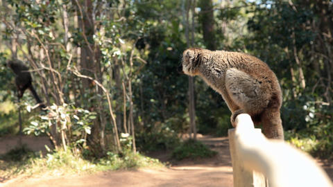 Static view of lemur sitting on wood fence looking around Footage