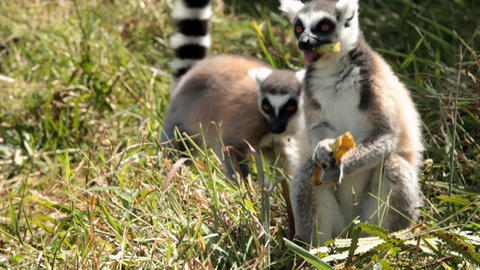 View of lemurs in the grass as one eats on a peel Footage