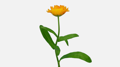 Time-lapse of opening calendula flower with ALPHA channel Live Action