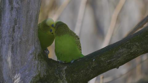 parakeet budgie pair in a tree Footage