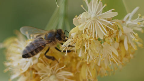 Bee collecting pollen from a flower of the tree Footage