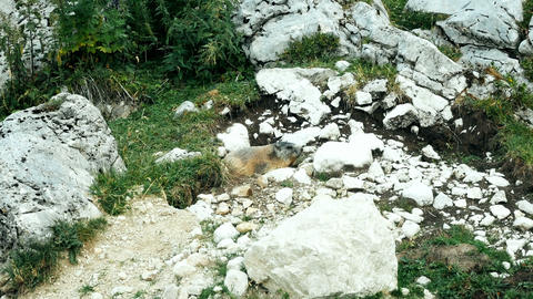 marmot standing in the sun on the alpine mountains of South Tyrol Live Action
