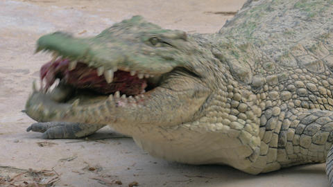 Crocodile with meat in its mighty jaws Live Action