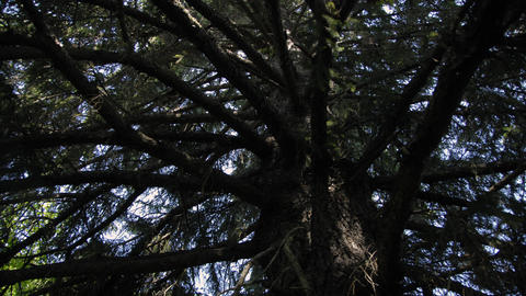 Time-lapse looking up through the bottom of a pine tree while moving around the  Footage