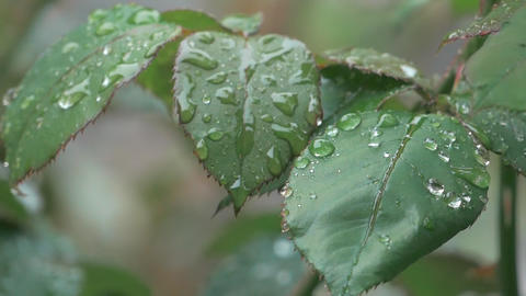 Rain Drops On Leaf Rose Highlights Footage