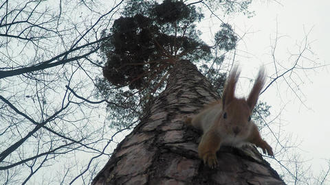 Red squirrel with long fluffy ears galloping along the trunk of a tall pine tree Footage