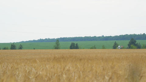 Field with wheat or rye. On the edge of the field passing car Live Action