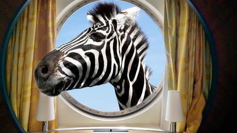 zebra face in the round ship porthole Fotografía