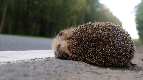 unfortunate hedgehog is hit on road by car Live Action