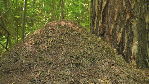 Big anthill in forest at sunny day Footage