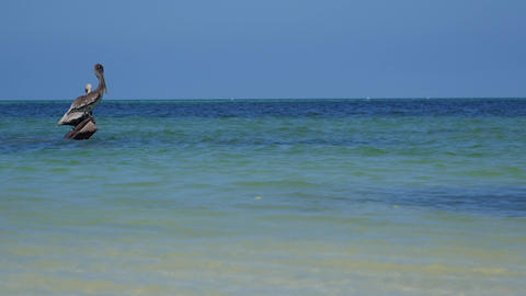 Wild pelicans in beautiful emerald sea, Yucatan peninsula, Mexico Footage