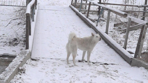 The white dog is guarding the bridge Live Action