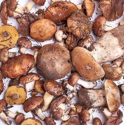 many fresh edible forest mushrooms Suillus luteus and Boletus e Photo
