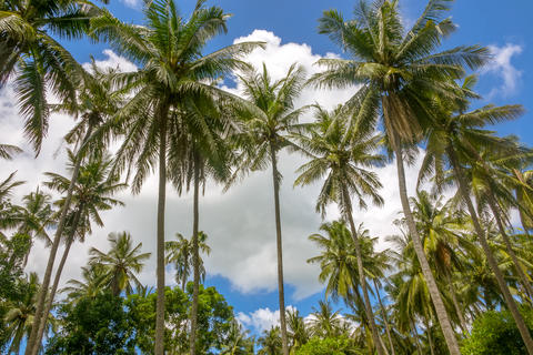 Coconut Palm Trees against the Blue Sky with Clouds Photo