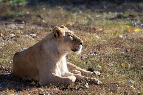 Asiatic lioness (Panthera leo persica) Fotografía