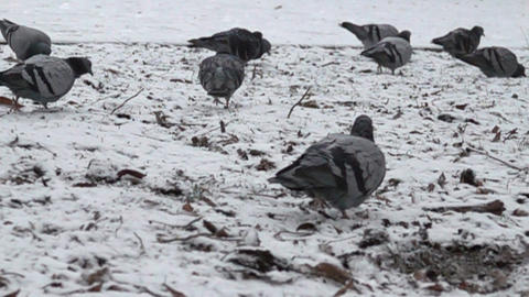 blue dove walks on the snow-covered lawn Footage