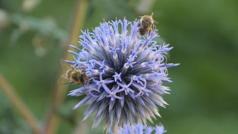 Slow motion macro- two bees on globe thistle flower Stock Video Footage