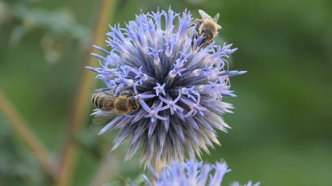 Slow motion macro- two bees on globe thistle flower Live Action