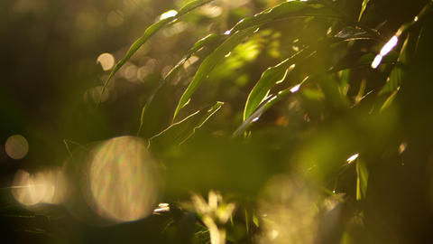 Close up of sun-outlined leaves Footage
