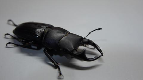 Japanese Stagbeetle Dorcus hopei binodulosusオオクワガタ Footage
