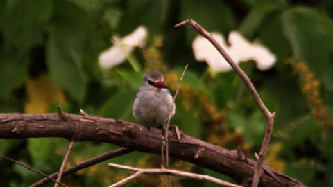 Brown-hooded kingfisher sitting on branch Footage