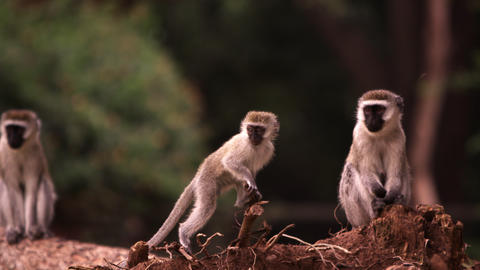 Four vervet monkeys on a fallen tree trunk Footage