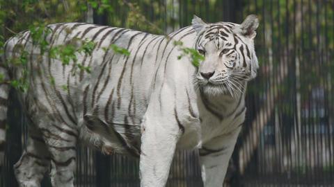 Gorgeous white tigress Footage