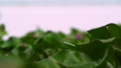 Racking focus close-up of aquatic plants Footage