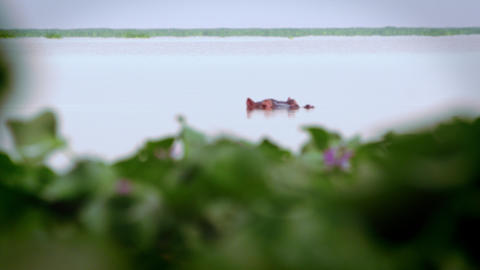 Hippo disappears underwater near aquatic plants Footage