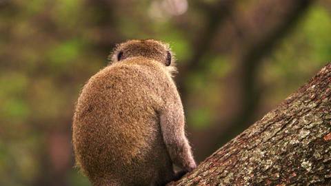 Vervet monkey sits on a tree with its back to the camera Footage