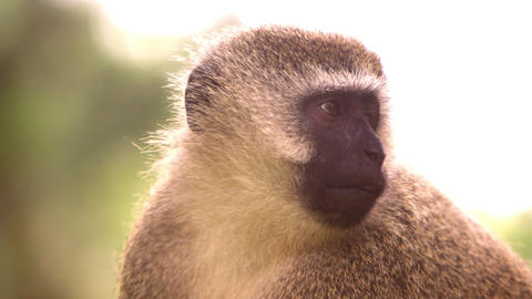 Close up on a vervet monkey's face Footage