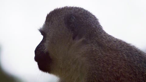 Close up on a vervet monkey's profile Footage